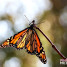 Monarch Butterflies at Ardenwood Historic Farm