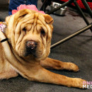 The Golden Gate Kennel Club Dog Show